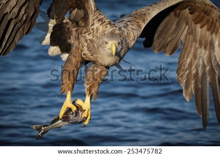 White-tailed eagle flying past with freshly caught coal fish - stock photo