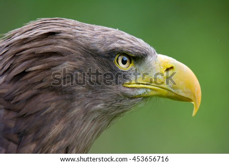 White-tailed Eagle (Haliaeetus albicilla) detail eagle's head in beautiful colors