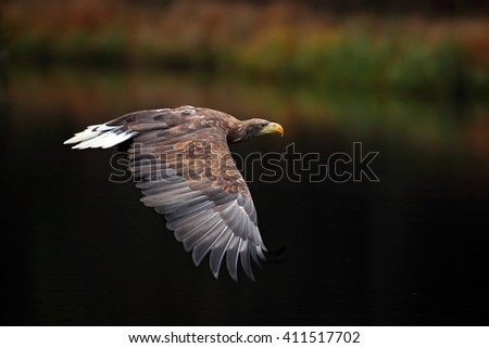 White-tailed Eagle Haliaeetus albicilla. Eagle flight above the water lake. Bird of prey eagle  with forest in background. Eagle in the nature habitat, wildlife. Eagle in the forest. Eagle in Sweden - stock photo