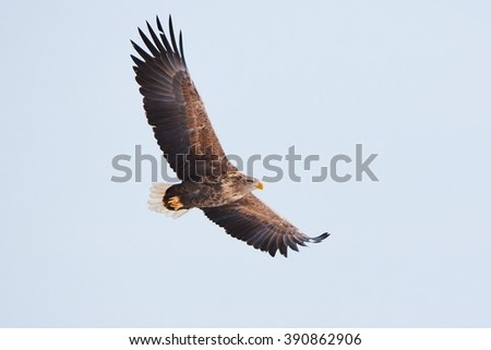 White tailed eagle (Haliaeetus albicilla) flying wings spread on the sky .