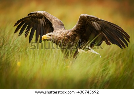 White-tailed eagle  landed in the reeds on the shore of Lake. Eagle waits for his prey - stock photo