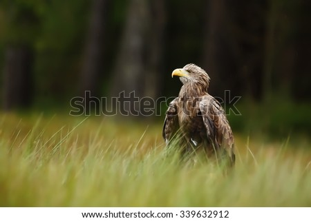 White-tailed eagle sitting next river - stock photo