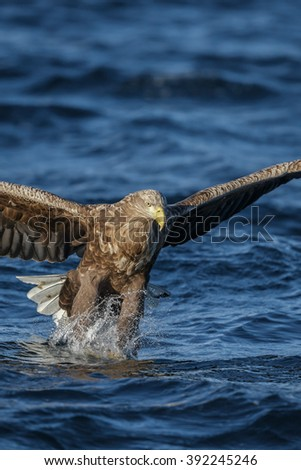 White-tailed eagle snatiching a fish from the surface of a Fjord in Norway, portrait orientation with copy space