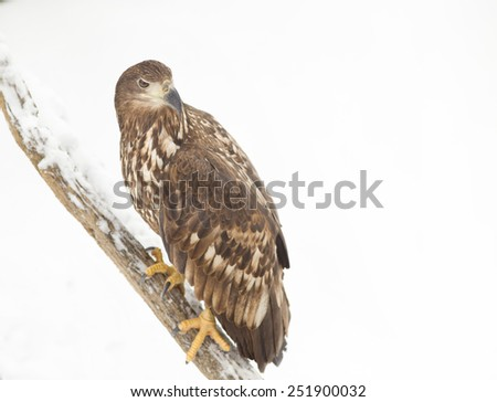 White-tailed eagle standing on branch with snow
