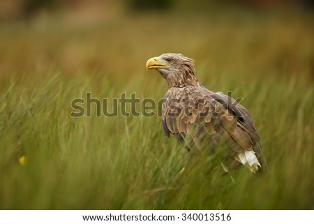 White-tailed eagle the pond in the grass - stock photo