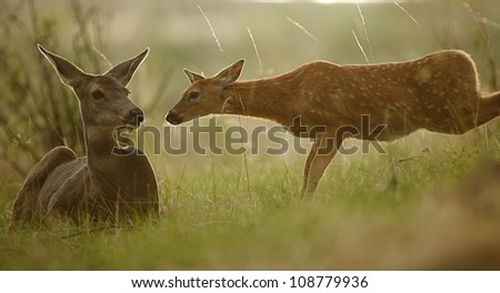 White tailed fawn and it's mother, beautifully backlit with early morning sunlight - stock photo