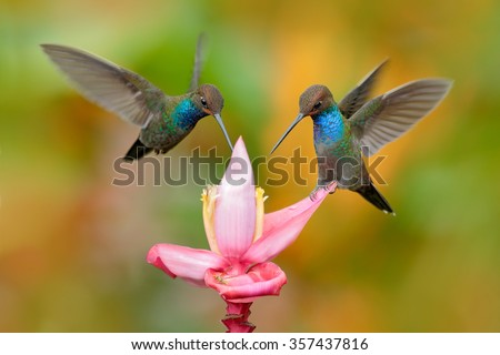 White-tailed Hillstar, Urochroa bougueri, two hummingbirds in flight on the ping flower, green and yellow background, two feeding birds in the nature habitat, Montezuma, Colombia - stock photo