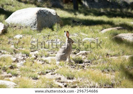 White-tailed jackrabbit, California
