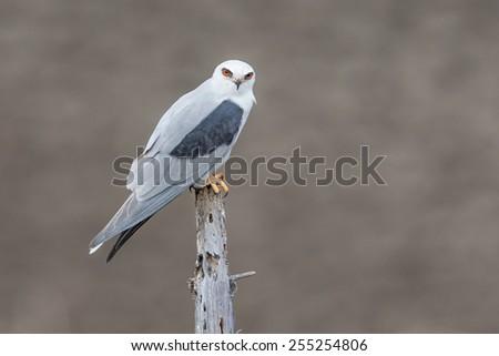 White-tailed Kite - stock photo