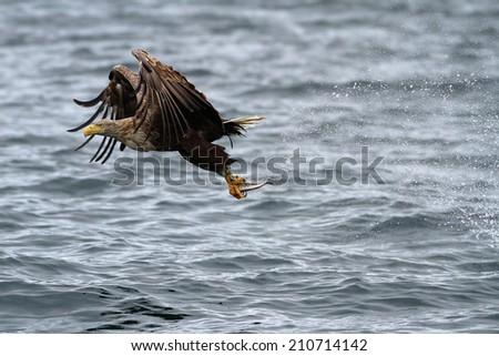 White-tailed Sea Eagle (Haliaeetus albicilla) in flight just caught a fish with sea spray in its wake. - stock photo