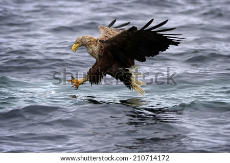 White-tailed Sea Eagle (Haliaeetus albicilla) in flight, stretching talons about to take a fish.  - stock photo