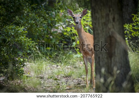 White tale deer looking around a tree. - stock photo