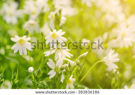White tender spring flowers, Cerastivum arvense, growing at meadow. Seasonal natural floral background with sun shining - stock photo