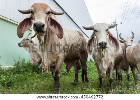 white thai cow in green, Family Cow in green field which traditional cow in urban, Cow in green field - stock photo