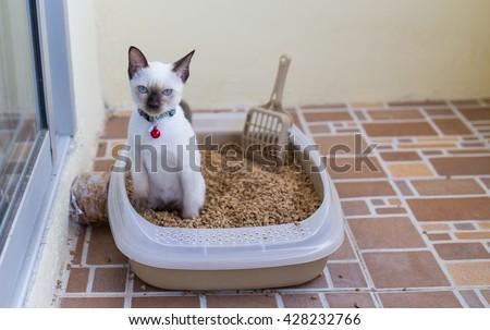 White Thai Moon Diamond Cat Making A Poo In Her Sand Toilet