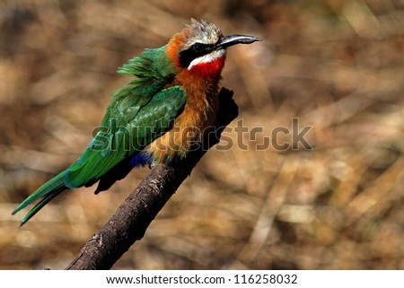 White-throated Bee-eater on twig in Rietvlei nature reserve - stock photo