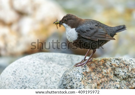 White-throated dipper on a rock with insects food in its bill - stock photo
