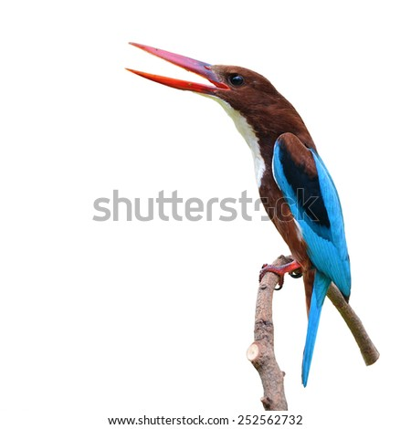 White-throated Kingfisher bird (Halcyon smyrnensis) perching on a branch, white background - stock photo