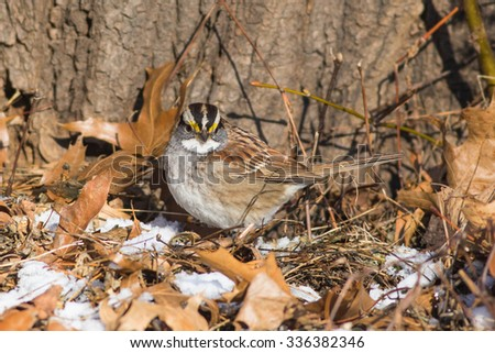 White-throated Sparrow, Zonotrichia albicollis in leaf litter on ground