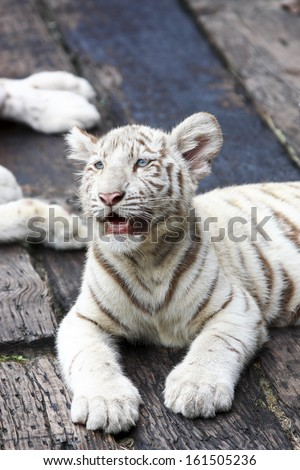 white tiger baby in zoo - stock photo