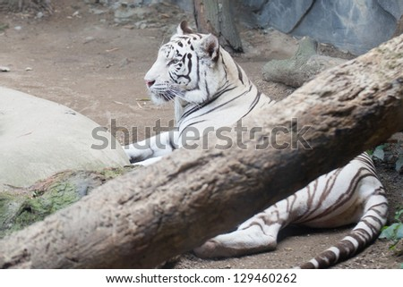 White Tiger behind the falling tree - stock photo