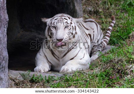White tiger : close up face and selective soft focus,selective focus at mouth - stock photo