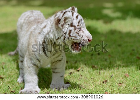 White Tiger cub on field focus to head and eye - stock photo