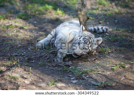 White tiger cub playing - stock photo