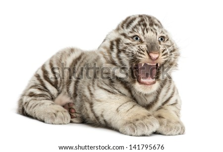 White tiger cub roaring and lying (2 months old), isolated on white