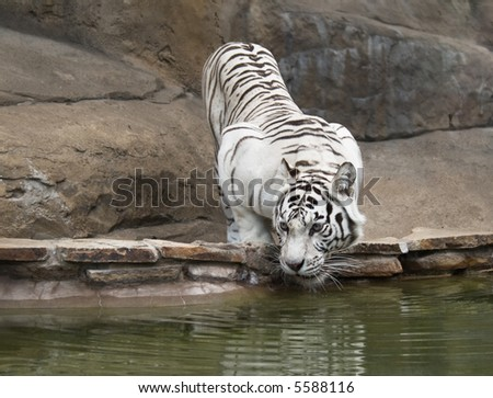 White tiger drinking water - stock photo