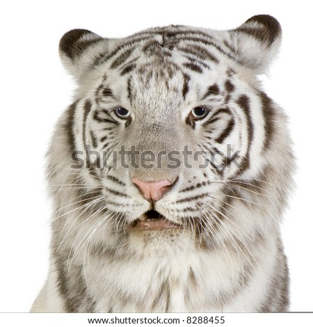 White Tiger in front of a white background - stock photo