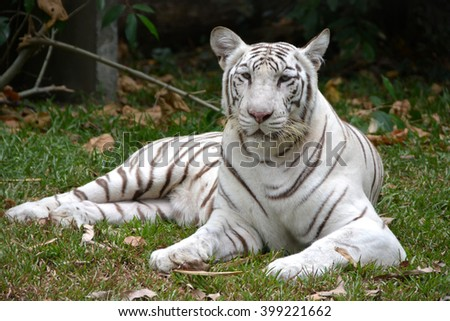 White tiger in the zoo - stock photo