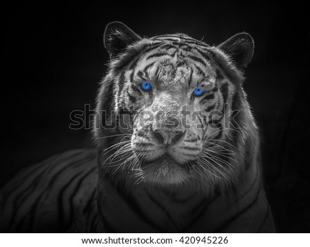 White tiger isolated on black background. - stock photo