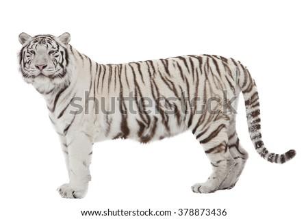 White tiger (isolated on white) - stock photo