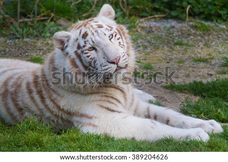 white tiger laying on grass - stock photo