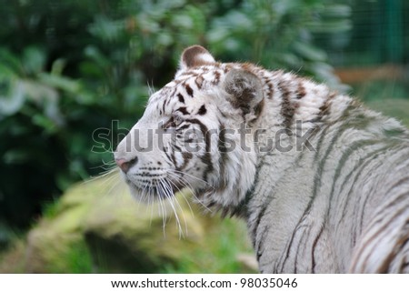 White tiger looking for prey - stock photo