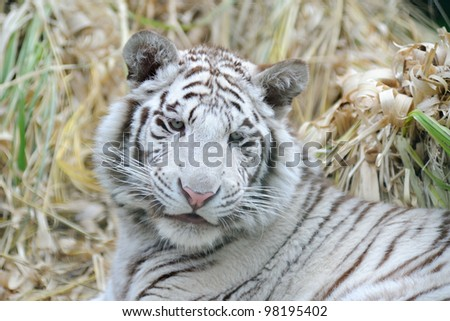 White tiger looks young with fluffy cheeks - stock photo