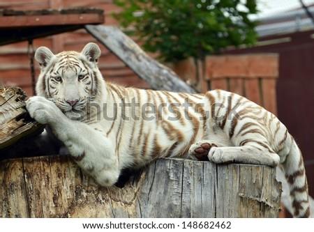 White tiger male laying on tree - albino  - stock photo