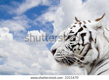 White tiger on a background of the blue sky with clouds - stock photo