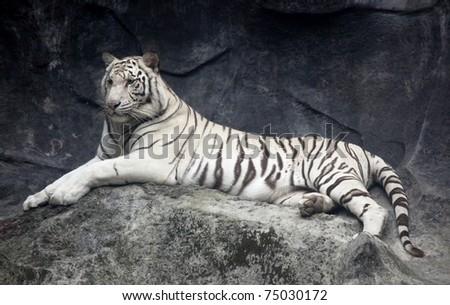 White tiger photo - stock photo
