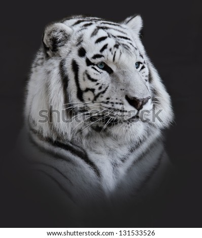 White  Tiger Portrait On Dark Background - stock photo