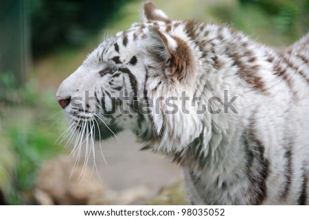 White tiger profile of head - stock photo