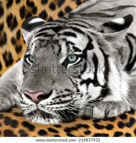 White tiger relaxing on ground Leopard. - stock photo