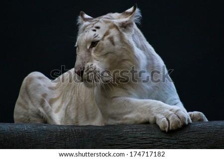 White Tiger Resting - stock photo