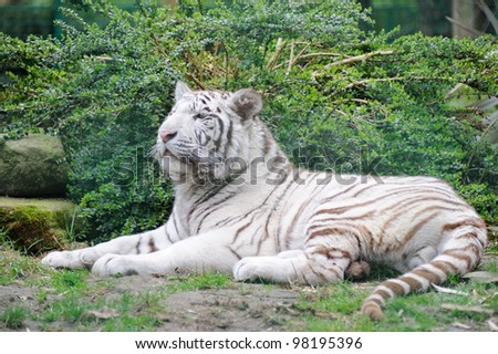White tiger resting and looking around - stock photo