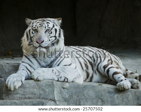 White Tiger Resting on Rock - stock photo