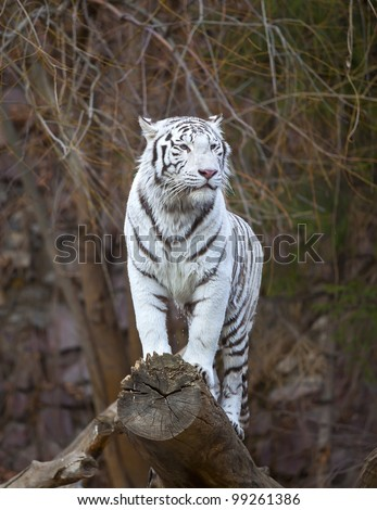 White tiger standing on a log - stock photo
