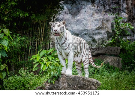 White tiger standing on the rock.White tiger in the zoo. - stock photo
