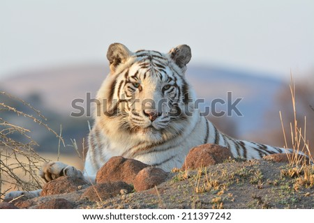 White Tiger.  This is a very rare shot of a wild white tiger. - stock photo