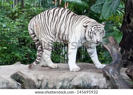 White Tiger Walking - stock photo